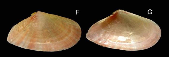 Tellina distorta Poli, 1791Specimen from La Goulette, Tunisia (soft bottoms 10-15 m, 18.08.2009), actual size 15.6 mm