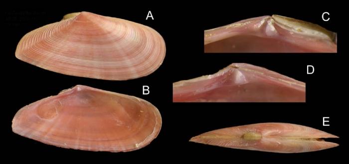 Tellina pulchella Lamarck, 1818  Specimen from La Goulette, Tunisia (soft bottoms 3-4 m, 18.08.2009), actual size 18 mm