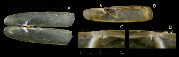 Pharus legumen (Linnaeus, 1758)Juvenile specimens from La Goulette, Tunisia (soft bottoms 10-15 m, 31.03.2010), actual size 8.8 mm. Arrow indicates the position of the inner buttress.