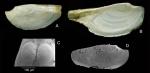 Pandora  inaequivalvis (Linnaeus, 1758)Specimens from La Goulette, Tunisia (soft bottoms 10-15 m), actual size C, SEM view of a juvenile specimen, same locality (scale 100 µm); D: prodissoconch of the same specimen, actual size 3.2 mm.