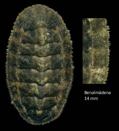 Lepidochitona caprearum (Scacchi, 1836)Specimen from Benalmádena, Spain (actual size 14 mm).