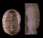 Callochiton septemvalvis (Montagu, 1803)Specimen from Isla de Alborán (actual size 20 mm).