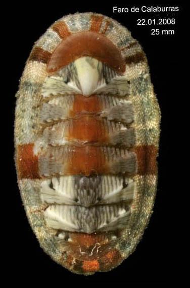 Chiton olivaceus Spengler, 1797 Specimen from Calaburras, Málaga, Spain (actual size 25 mm).
