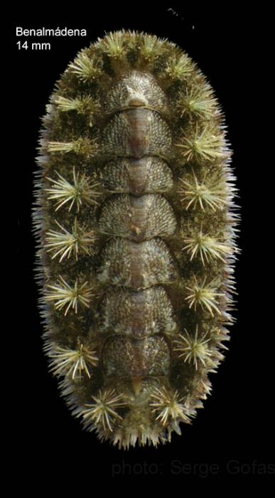 Acanthochitona crinita (Pennant, 1777)Specimen from Benalmádena, Spain (actual size 14 mm).