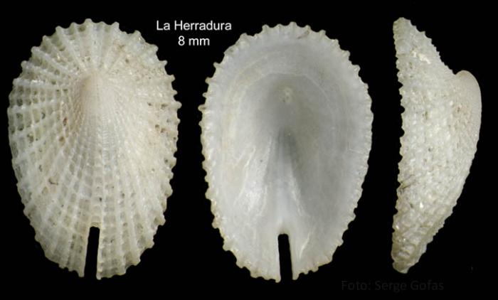 Emarginula huzardii (Payraudeau, 1826)Specimen from La Herradura (-24 m), Granada, Spain (actual size 8 mm).