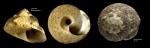 Gibbula varia (Linnaeus, 1758)Specimens from Benalmádena, Spain (actual sizes 13.8 and 13.0 mm).