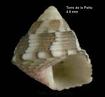 Jujubinus dispar Curini-Galletti, 1982Specimen from Torre de la Peña, Tarifa, Spain (actual size 4.8 mm)