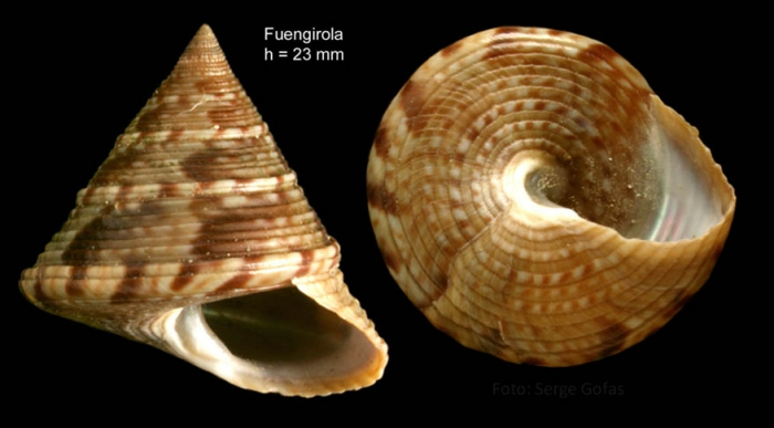 Calliostoma zizyphinum (Linnaeus, 1758) Specimen from Fuengirola, Spain (actual size 23 mm).