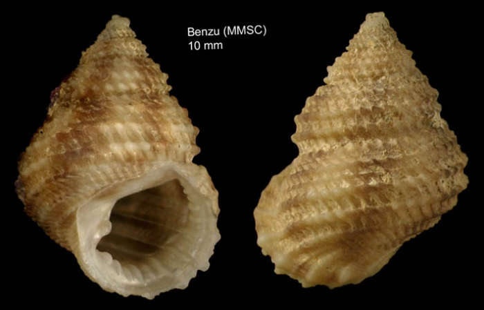 Danilia tinei (Calcara, 1839)Specimen from Benzú, Ceuta, Strait of Gibraltar  (actual size 10 mm)