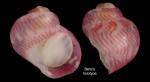 Tricolia deschampsi Gofas, 1993Specimen from Benzú, Ceuta, Strait of Gibraltar (holotype, coll. MNHN) (actual size 1.1 mm)
