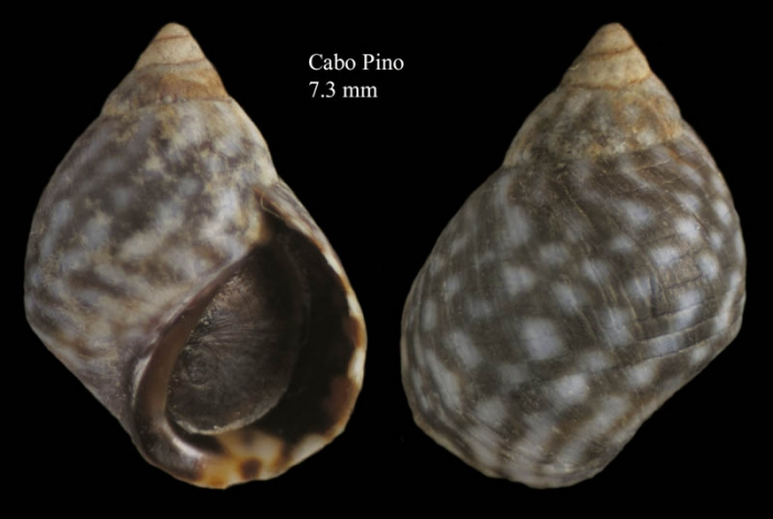 Echinolittorina punctata (Gmelin, 1791)Specimen from Cabo Pino, Málaga, Spain (actual size 7.3 mm).