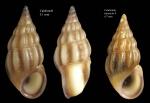Rissoa guerinii Récluz, 1843Specimens from Calahonda, Málaga, Spain (actual sizes 5.1 and 4.7 mm).