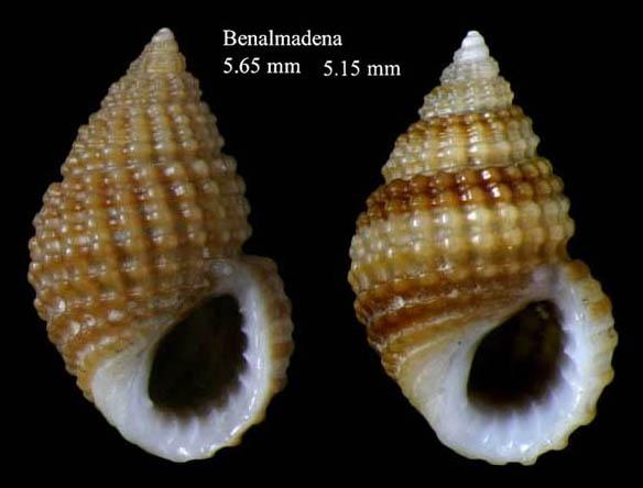 Alvania cimex (Linnaeus, 1758)Specimens from Benalmádena, Spain (actual sizes 5.2 and 5.7 mm).