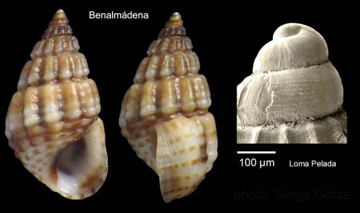 Alvania montagui (Payraudeau, 1826)Specimen from Benalmádena, Spain (actual size 4.5 mm), and protoconch of a specimen from Cabo de Gata, Spain.