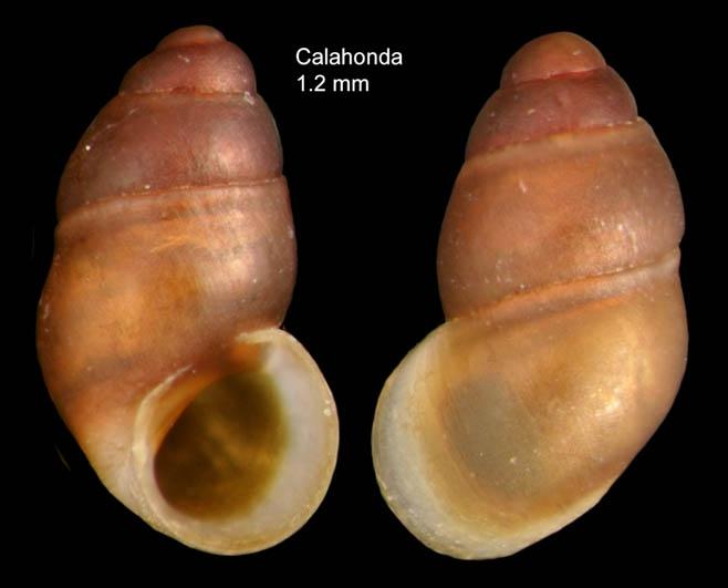 Pisinna glabrata (Von Mühlfeldt, 1824)Specimen from Calahonda, Málaga, Spain (actual size 1.2 mm).