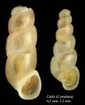 Truncatella subcylindrica (Linnaeus, 1767)Specimens from La Cortadura, Cadiz, Spain (actual sizes 4.5 mm and (juvenile) 3.2 mm).