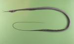 Nemichthys scolopaceus
