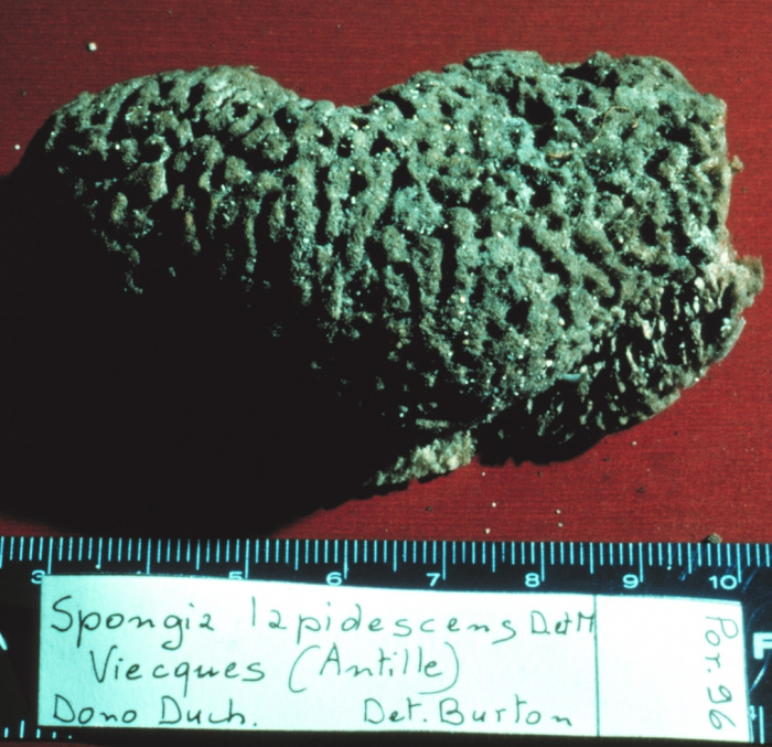 Spongia lapidescens lectotype specimen