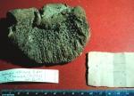 Spongia obliqua paralectotype specimen
