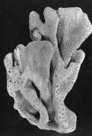 Spongia manus paralectotype specimen