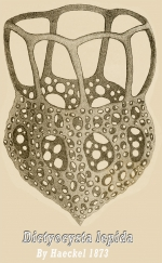 Dictyocysta lepida by Ernst Haeckel