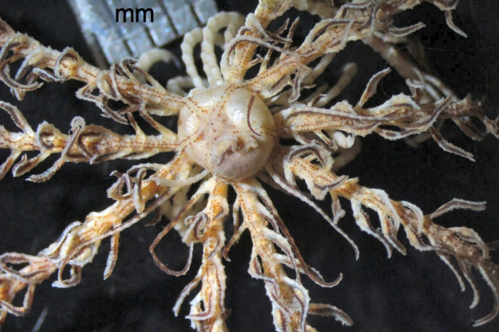 Antedon incommoda austini A. M. Clark, 1967 (in A. H. Clark & A. M. Clark, 1967)