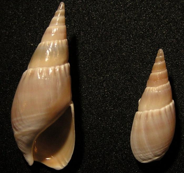 Bullia natalensis