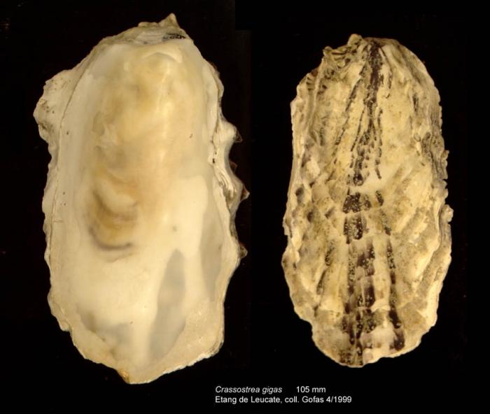 Crassostrea gigas (Thunberg, 1793)Specimen from Etang de Leucate, Mediterranean coast of France (actual size 105 mm)