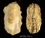 Crassostrea gigas (Thunberg, 1793)Specimen from Etang de Leucate, Mediterranean coast of France (actual size 105 mm)