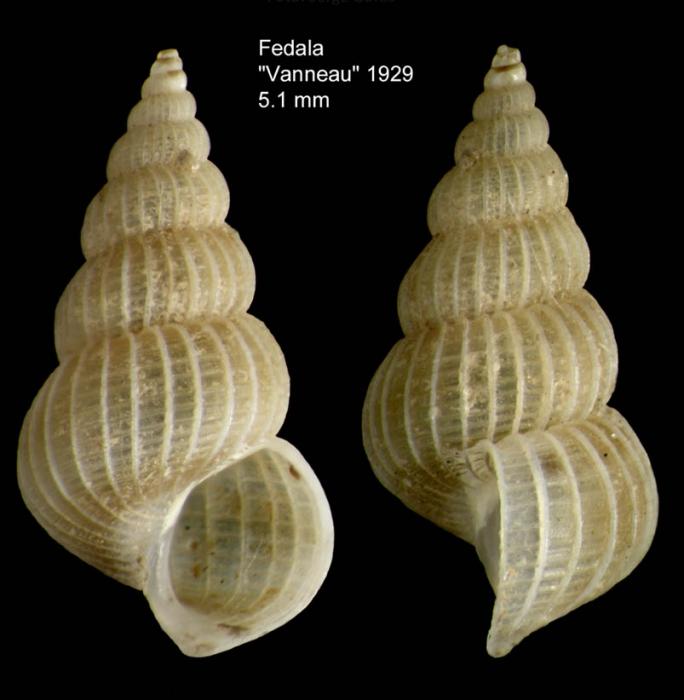 Epitonium dendrophylliae Bouchet & Warén, 1986Specimen from off Mohammedia, Morocco (col. MNHN, Paris) (actual size 5.1 mm).