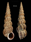 Epitonium turtonis (Turton, 1819)Specimen from Malaga province, Spain (actual size 40 mm).