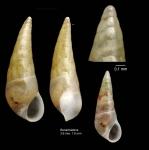 Vitreolina philippi (de Rayneval & Ponzi, 1854)Specimen from Benalmádena, Spain (actual size 3.6 and 1.9 mm).