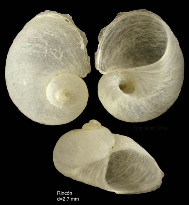 Megalomphalus azonus (Brusina, 1865)Shell from Rincon de la Victoria, Málaga, Spain (actual size 2.7 mm)