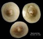 Calyptraea chinensis (Linnaeus, 1758)Specimens from Marina del Este, Granada, Spain, Granada (actual size 13 and 14 mm).