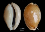 Erosaria spurca (Linnaeus, 1758)Specimen from Isla de Alborán (actual size 34 mm).