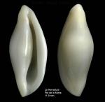Simnia spelta (Linnaeus, 1758)Specimen from La Herradura, Granada (actual size 11.9 mm).