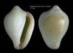 Erato voluta (Montagu, 1803)Shell from Cabo Pino, Málaga, Spain, 15 m (actual size 7.1 mm)