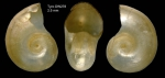 Oxygyrus inflatus Benson, 1835Shell from  Tyro seamount, central North Atlantic (actual size 2.5 mm)