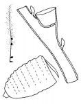 Family Kirchenpaueriidae: single plume, hydrothecae on branches, gonotheca