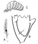 Aglaophenidae: typical representant