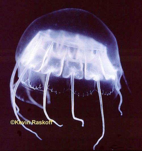 Cunina peregrina: Narcomedusae,  Cuninidae