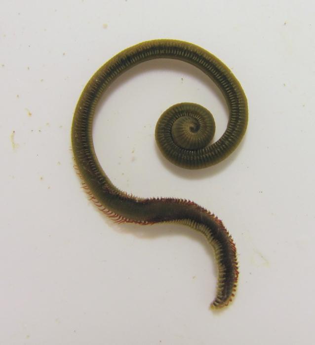 Picture of Marenzelleria viridis