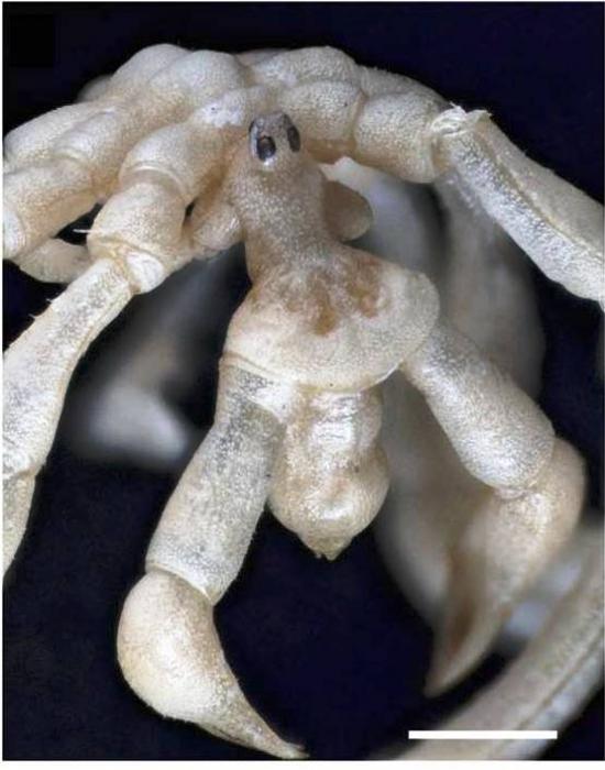 Pseudopallene constricta