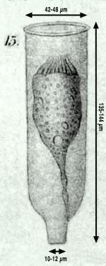 Drawing of Eutintinnus angustor from orginal description in Daday 1887