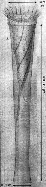 Drawing from original description of Eutintinnus fraknoii  by Daday (1887)