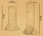 Tintinnopsis brandti original drawing by Nordqvist 1890