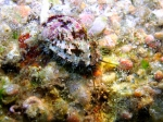 Haliotis tuberculata tuberculata
