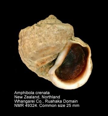 Amphibola crenata