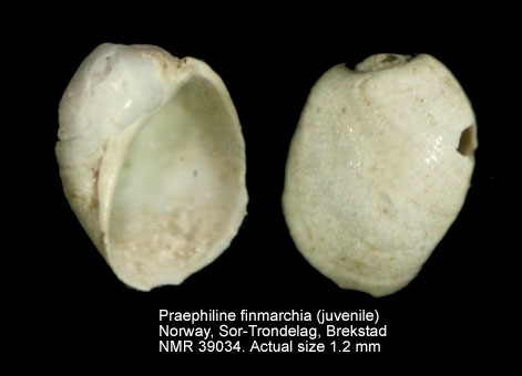 Philine finmarchica