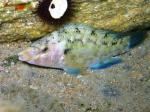 Symphodus tinca (male - by night)